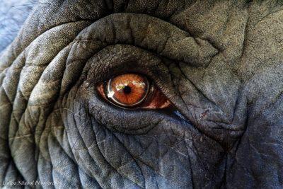 Boonmee Elephant